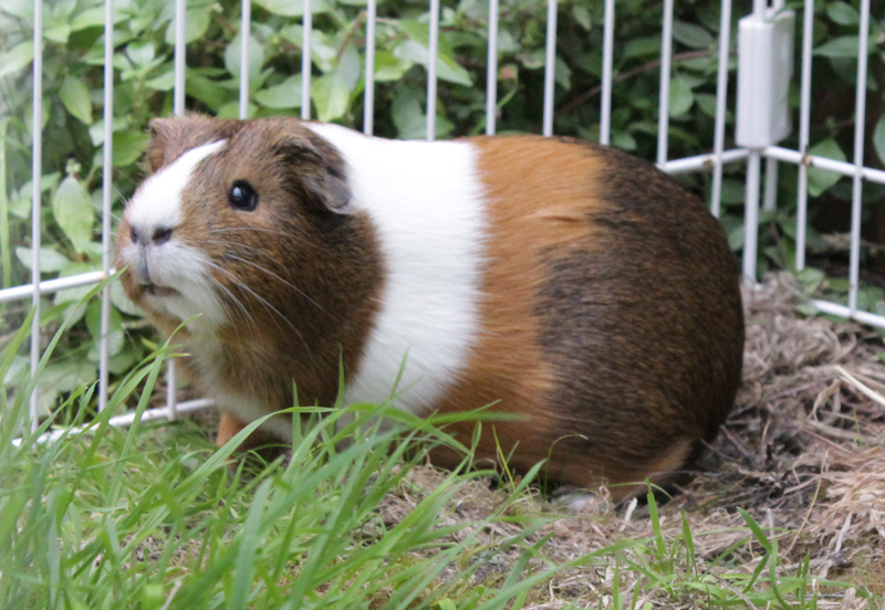 adopter cochon d'Inde femelle 95