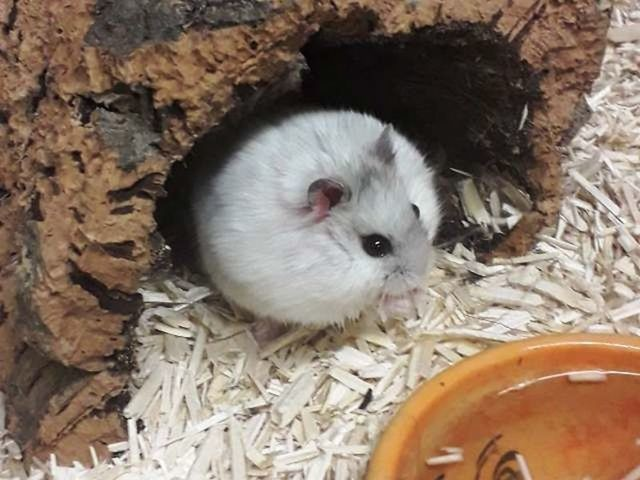 adopter hamster male sud oise