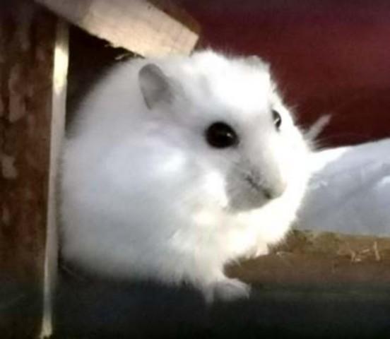 adopter hamster male paris