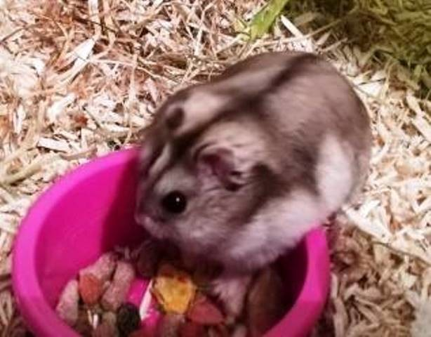 adopter hamster male 95