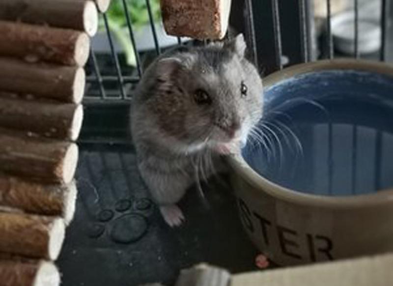 adopter hamster femelle 94