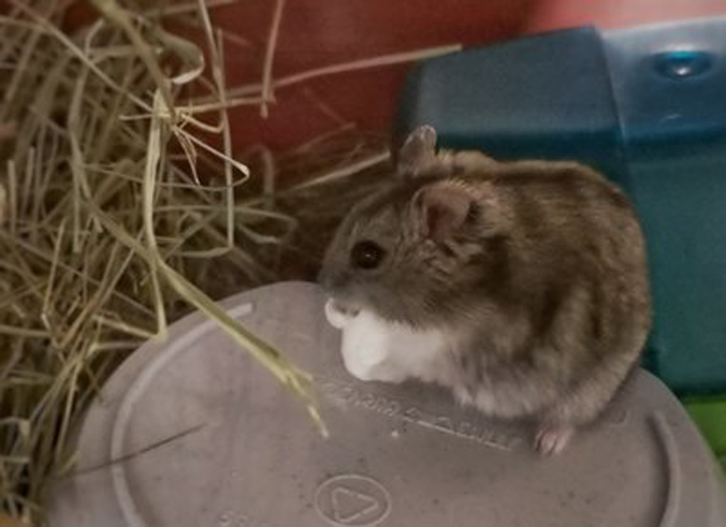 adopter hamster male 94