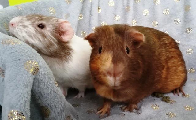 adopter cochon d'Inde femelle 92