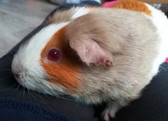 adopter cochon d'Inde femelle 91