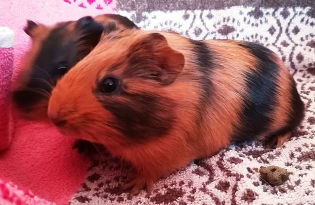 adopter cochon d'Inde mâle 95